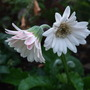 Gerbera_everlast_white_
