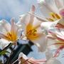 Lilium regale (Regal lily)