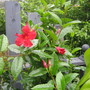 Newest Mandevilla...Red this time!