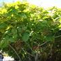 Ficus auriculata  - Roxburgh Fig (Ficus auriculata  - Roxburgh Fig)