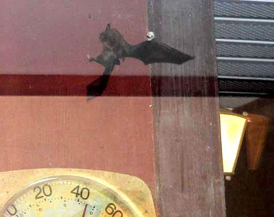 Bat Hunting Front Porch