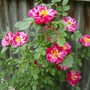 """Rose """" Candy Tuft """""""