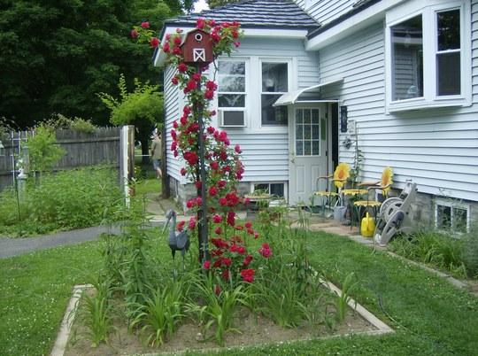 """Rose Climber """" Red Blaze """""""
