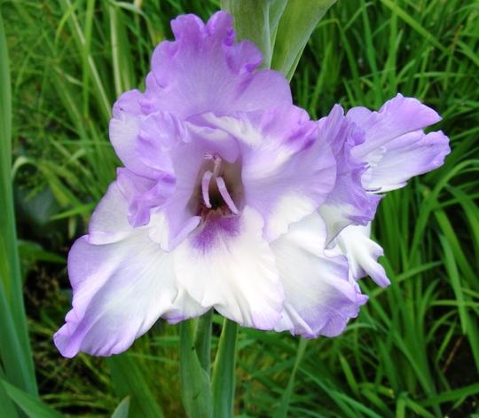 Blue gladiolus (Gladiolus grandiflorus)