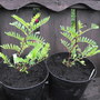 2 Parrot Bill Plants Doing Great  (Clianthus puniceus (Kaka Beak))