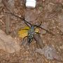 Aussie Beetle. Mount Warning National Park. NSW, Aus.