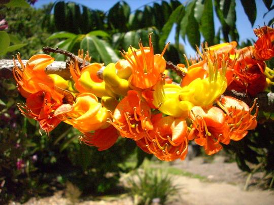 Castanospermum australe - Morton Bay Chestnut Flowers (Castanospermum australe - Morton Bay Chestnut)