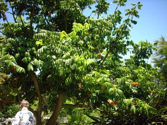 Castanospermum australe - Morton Bay Chestnut Tree (Castanospermum australe - Morton Bay Chestnut Tree)