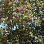 Lagunaria patersonii - Primrose Tree, Cow-Itch-Tree (Lagunaria patersonii - Primrose Tree, Cow-Itch-Tree)