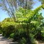 Caryota gigas - Giant Fishtail Palm (Caryota gigas - Giant Fishtail Palm)