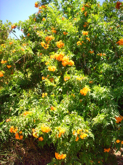 Tecoma Orange Bush http://www.growsonyou.com/photo/slideshow/96179-tecoma-stans-x-orange-jubilee