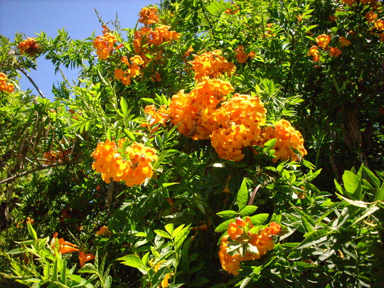 Tecoma stans x 'Orange Jubilee'  (Tecoma stans x 'Orange Jubilee')
