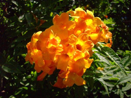 Tecoma stans x 'Orange Jubilee'  (Tecoma stans x 'Orange Jubilee')