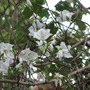 Bauhinia now in full bloom. (Bauhinia Variegata - Alba)