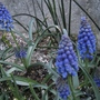 Grape hyacinth (Muscari) (Muscari armeniacum (Grape hyacinth))