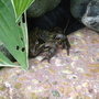 Frog sitting by the pond......