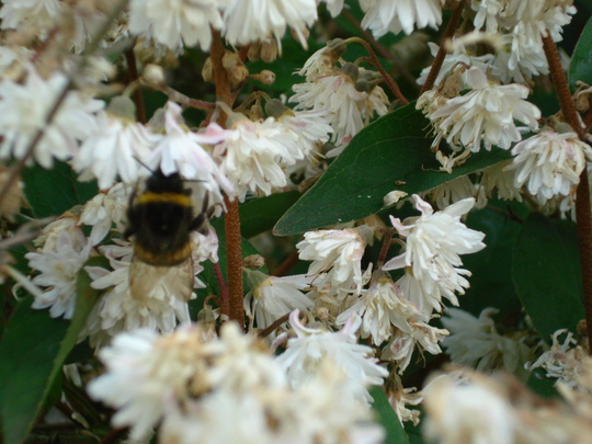 Deutzia with Mr. Bee