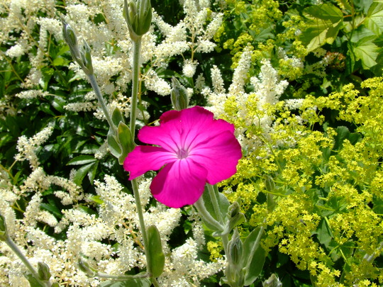Rose Campion (Lychnis coronaria) and astilbe (Lychnis coronaria (Rose campion))
