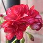 Bi_coloured_geranium
