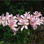 Naked Ladies All In A Row (Lycoris squamigera (Magic Lily))