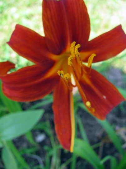 Red with yellow throat daylily (Hemerocallis 'Sammy Russell')