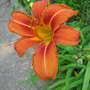Orange daylily (Hemerocallis fulva (Chin Chen TsAi))