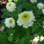 White Pompom Feverfew (Chrysanthemum  parthenium 'White pompom')