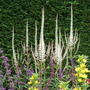 Veronicastrum virginicum 'Album' (Veronicastrum virginicum (Blackroot))
