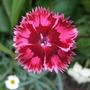 Dianthus_strawberry_sundae_