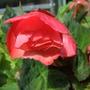 Begonia_aromantics_
