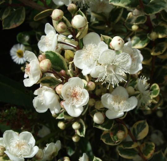 Myrtus communis 'Variegata' (Myrtus communis 'Variegata')