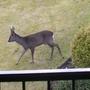 roe deer on lawn