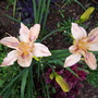 A garden flower photo (hemerocallis 'chinese temple')