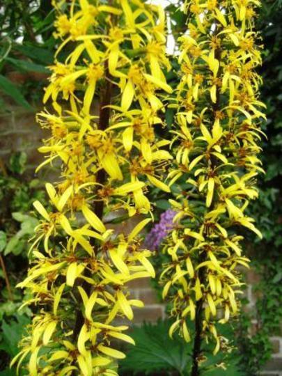 flower close up of Ligularia