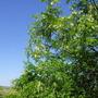acacia(robinia)
