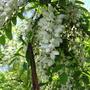 robinia pseudoacacia(salcam) powerful nice smell (Robinia pseudoacacia (False acacia))