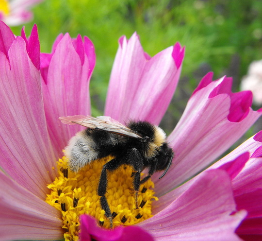 Bee Enjoying  A Sea Shell Cosmos Flower :)