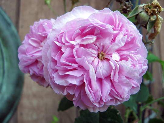 Pink roses still blooming (Rosa centifolia 'Fantin-LaTour')