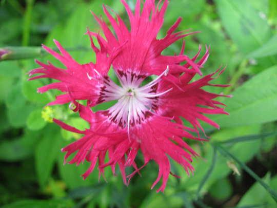 Carnation (Dianthus)