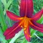 Daylily bloom (Hemerocallis 'Sammy Russell')
