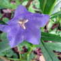Blue Bellflower (Campanula persicifolia (Peach-leaved bellflower))