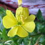 Evening Primrose Flower (Oenothera Biennis)