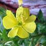 Evening Primrose Flower (Oenothera Biennis)