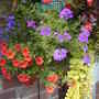 Part of hanging basket in front garden