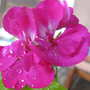 Dark pink geranium