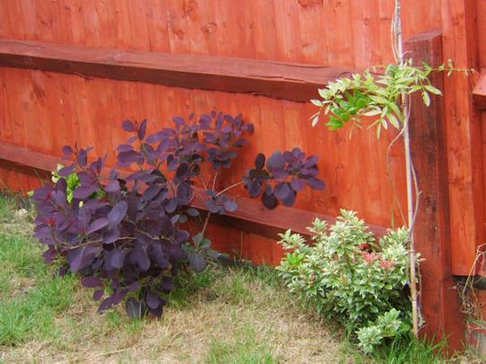 Continus coggygria (Cotinus coggygria (Smoke bush))