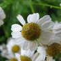 Feverfew Flower (Tanacetum parthenium)