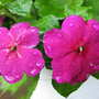 Dark Pink Impatiens