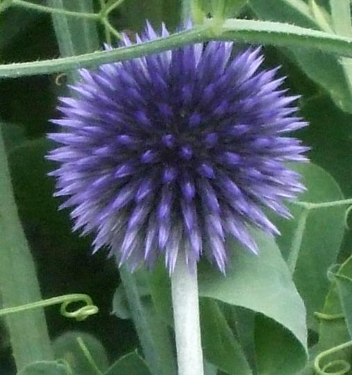 Echinops ritro 'Veitch's Blue' (Echinops ritro (Globe thistle))