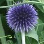 Echinops_ritro_veitch_s_blue_